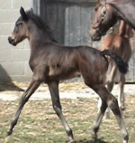 Diamond Hit - Romancero dressage Hanoverian filly