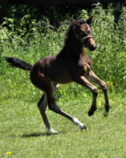 Pirhoutte Hanoverian dressage filly by Sir Donnerhall