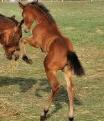Destano filly for sale