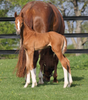 Fabregas - Fidertanz dressage colt Conformation