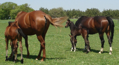Mares and Foals 07