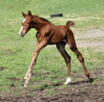 Sir Gregory Hanoverian Filly