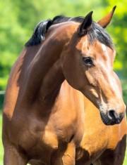 Sir Savoy mare, Hanoverian SPS mare