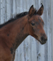 Destano Hanoverian filly