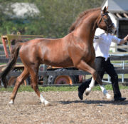 Stallion - Sir Gregory