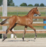 Champion Filly Designed To Dance MRF