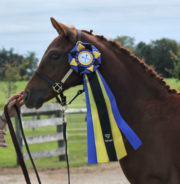 2017 Canadian Champion Dressage Foal